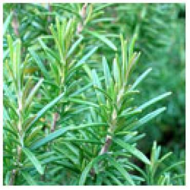 Rosemary Olive Oil, 1G Plastic Jug